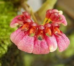 Bulbophyllum picturatum (Brujo) Tags: orchid bulbophyllum picturatum flower red