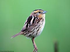 LeConte's Sparrow profile (Laura Erickson) Tags: bird sparrow lecontessparrow ammodramusleconteii ammodramus