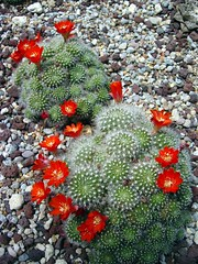 Cactus Blossoms - by edgeplot