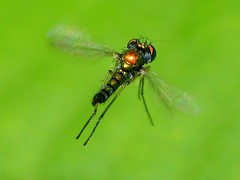 Male Dolichopodid fly hovering over female (imarsman) Tags: male nature flies top20macro longleggedfly invertebrates dolichopodid