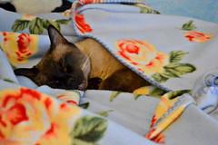 Goodnight 😻 (giuliaph.) Tags: cat cute cutie silvestro silvester gattosilvestro sleeping sleepy sleepycat cats catoftheday kitten lovely omg aw asleep dorme dormiglione sleepyhead thecutest nature
