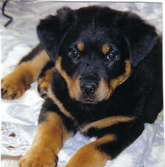 oh how you've grown..... (alzeus1) Tags: dog pets love dogs puppy rottweiler zeus rottie rottweiller