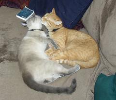 2005 April Kitty Love Sophia Pasta (Danarah) Tags: 2005 orange animal cat siamese pasta cleaning april sophia