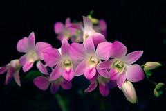 Velvia #3 004 (Kelly Cheng) Tags: light orchid flower cafe flora singapore velvia dendrobium botanicgarden