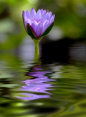 Lavender Flood (hodad66) Tags: flower water photoshop graphics waterlily florida