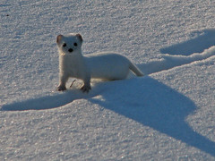 lumikko 7 (Marko_K) Tags: winter snow animals mrjackfrost tag3 taggedout wonder ilovenature top20np top20animalpix tag2 tag1 top20winter 100v10f weasel 50v5f mustelanivalis leastweasel animalkingdomelite