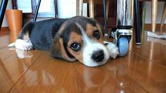 20051021_02 (perkypat) Tags: dog beagle puppy pup