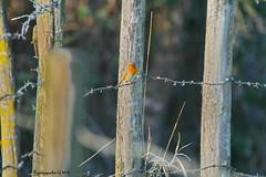 GRAVIERE AUX OISEAUX Rouge gorge / Robin on the fence HFF (BPBP42) Tags: oiseaux animal bird vogel nature fence barriere bokeh