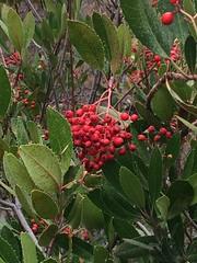 Toyon, Christmas Berry, or California Holly (cathysponseller) Tags: canative toyon