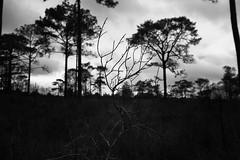 black forest (snksinicksink192) Tags: phukradueng loei thailand traval travalphoto blackandwhite