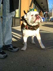 Buster lickin' his chops (Just Jefa) Tags: christmas cute tongue lick bulldog buster englishbulldog chops supercute groomer brownandwhite brownandwhitedog stocky holidaycollar plaidcollar festivecollar christmascollar