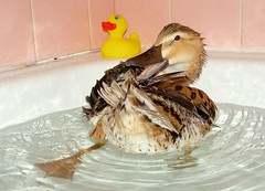 Who needs a Rubber Ducky when you have Daffy! (bluemist57) Tags: cute bird duck funny adorable bathtub daffy rubberduck yellowduck featheryfriday realduck impressedbeauty itquackedmeup