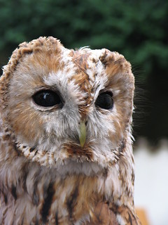 Tawny Owl in Palace Gardens