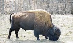 A Real Buffalo (Gila Trout) Tags: paintedbuffalo