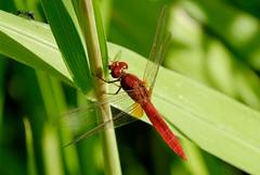 Crocothemis erythraea (Bob Reimer) Tags: feeding dragonflies fieldtrip oman odonata crocothemiserythraea enhg asubaitah wilayatmahdah