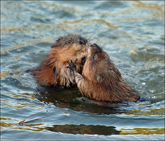 (Bryan Olesen) Tags: ohio nature fight wildlife muskrat youngstown bryanolesen animalkingdomelite millcreekmetropark