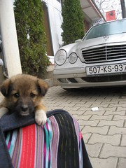 Stray Puppy and Merc (N-Lo) Tags: puppy kosova