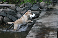 IMG_7237 (JFCToronto) Tags: ontario swimming lab halliburton cottage fetch labradorretreiver