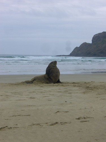 Sea Lion at Cannibal Bay!