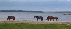 Town horses (henribergius) Tags: horses russia viking kuganovolok