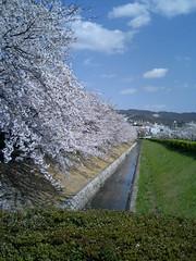 Sakura in university