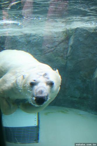 旭山動物園.北極熊