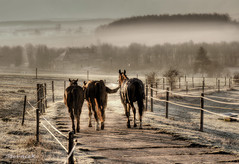 Morning walk (Stevacek) Tags: morning horses horse mist sunrise d50 gold nikon frost quality czechrepublic tamron 90mm hdr mraz kun rano jicin kone ceskarepublica zebin mlha stevacek jitro vychodslunce flickrlovers