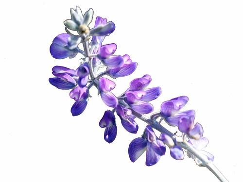 Lupine flower purple blue white background lupine 4484erase001 a lupine flower purple blue white background lupine 4484erase001 mightylinksfo