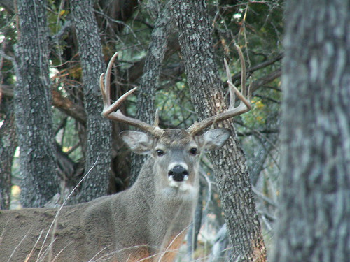 Whitetail Buck, Brady TX Nov 06 by Charles & Clint, on Flickr