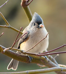Biggest Nut! (Trish Overton) Tags: tree bird birds ilovenature japanese maple indiana explore nut titmouse tufted cuted outstandingshots