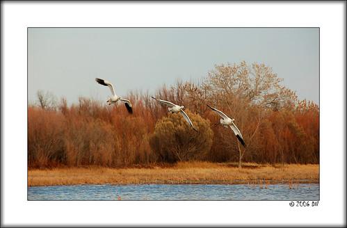 snow geese 4