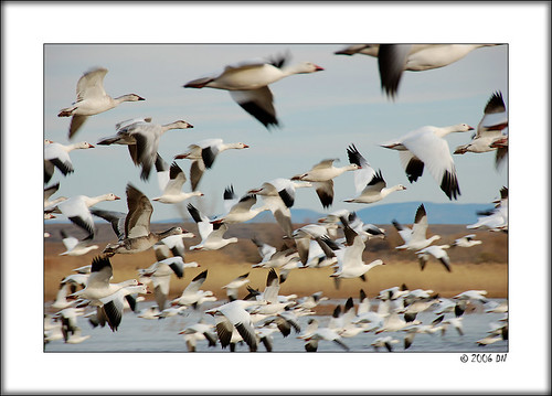1000 snow geese taking off 2