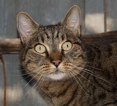 Domisia (arjuna_zbycho) Tags: pet cats pets cute animal animals cat austria österreich kitten feline chat felix kitty kittens gato katzen haustier kater niederösterreich tier rakousko hauskatze domisia