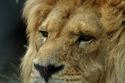 lions-endangered-trophy hunting-Endangered Species Act
