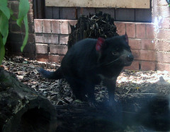 Tasmanian Devil (behind glass)