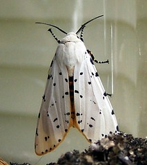 Salt Marsh Moth (male) (Carla Finley) Tags: orange white male nature june florida moth arctiidae arctiinae spotted fl dorsal midsize bmna saltmarshmoth estigmeneacrea estigmene