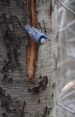 White-breasted Nuthatch (noahg.) Tags: blue winter newyork tree slr bird digital nikon december dof zoom kitlens 2006 af nikkor dslr whitebreastednuthatch zoomlens sittacarolinensis autofocus nikkorlens december25 d80 specanimal animalkingdomelite noahbulgaria abigfave nikond80 nikkorkitlens afsnikkor18135mm13556ged