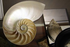 Nautilus Shell (FrogMiller) Tags: ocean california lighting ca light sea nature water museum architecture canon court spiral fossil interestingness interesting phi shell sealife exhibit science paleontology indoors socal fibonacci chamber canon350d shellfish government courthouse pearl unusual orangecounty santaana sequence oc museums biology canoneos canonrebelxt chambers pearly exhibits theoc fossils clever nautilus courthouses ratio motherofpearl scientific oceanography goldenratio robertmiller