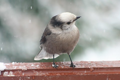 Whisky Jack in the Snow (Meighan) Tags: christmas winter snow bird nakusp greyjay whiskyjack canadianjay