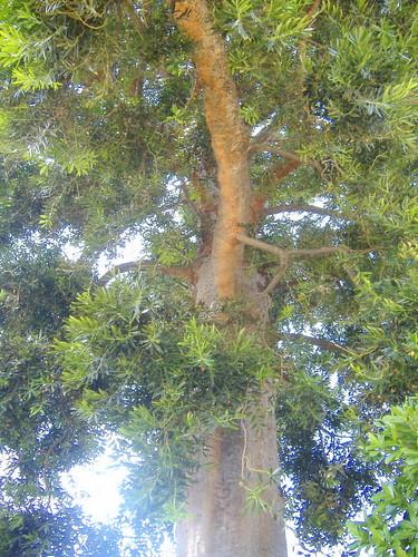 Queensland Kauri Pine