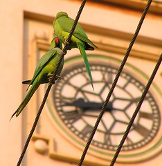 Time flies (tomato umlaut) Tags: india clock birds topv111 topv555 topv333 parrot parakeet kiss2 birdsofindia birdsindia indianbirds kiss1 kapadvanj