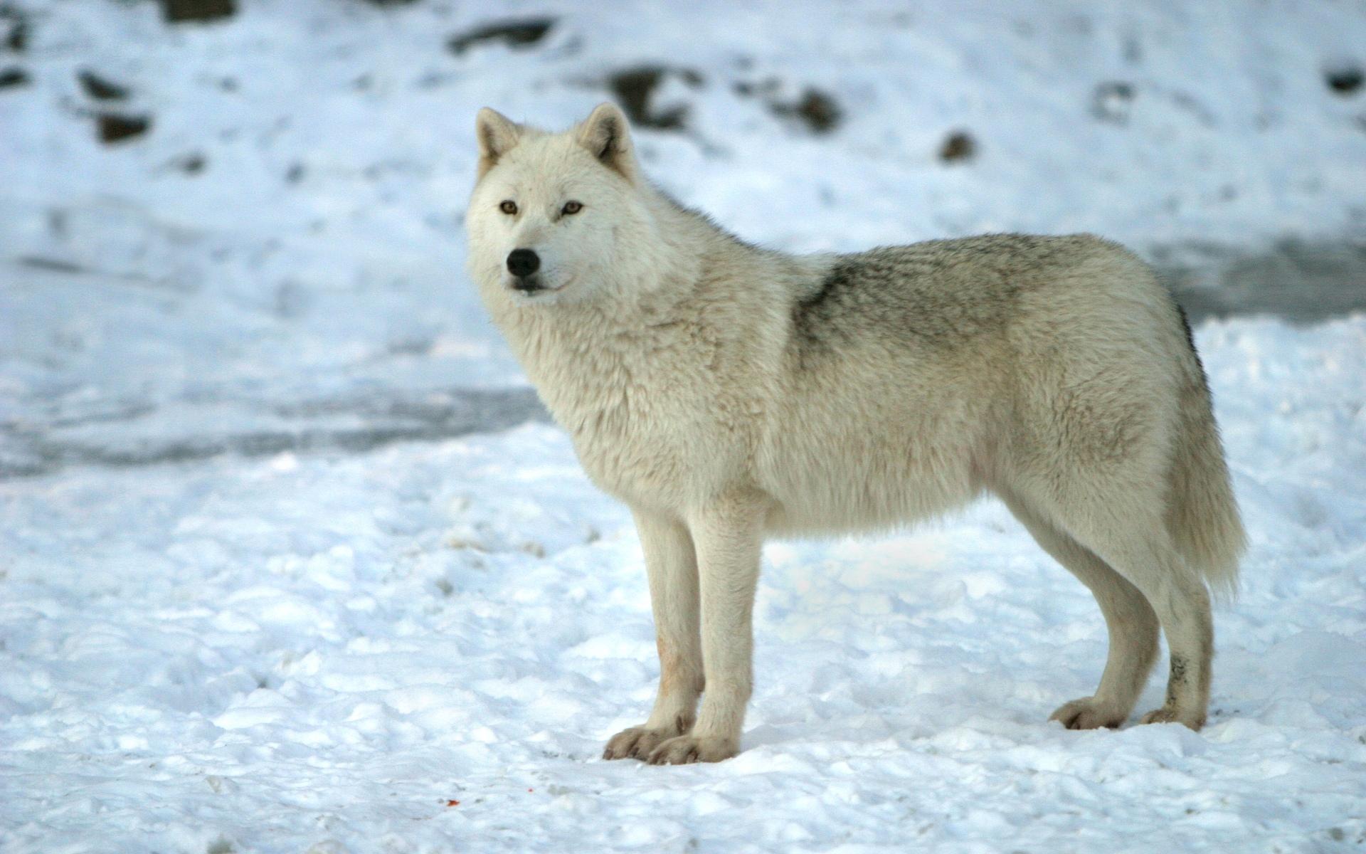white wolf wallpaper 71270