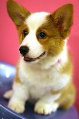 Dog - Welsh Corgi Puppy IMG_0400 (^hSirius) Tags: christmas new xmas party portrait favorite dog pet pets cute 20d dogs animal animals goldenretriever canon hair puppy studio fur pembroke nose golden interestingness big paw corgi eyes furry long canon20d year longhair adorable favorites award tie ears canine professional explore terrier blond short views doggy welsh cutedog breed favourite cutedogs welshcorgi goldilocks bigears cutest cardigan doggie beautifuleyes studioportrait beautifuldog winning legged happynewyear k9   petportrait longhaired cutepuppy animalportrait studiophotography dogportrait dogtie pembrokecorgi christmasdog corgipuppy cutestpuppy handsomedog beautifulportrait cardigancorgi shortleg beautifuldogs  shortlegged shortlegdog dogwearingtie welshcorgipuppy