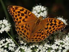 Butterfly Issoria lathonia - Dostojka Latonia. (arjuna_zbycho) Tags: butterfly olympus schmetterling e500 motyl abigfave issorialathonia dostojkalatonia