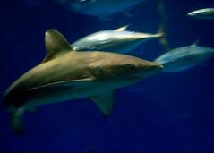 shark_big_tank_001.jpg