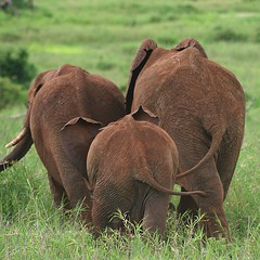 Walk don`t run (Heaven`s Gate (John)) Tags: africa vacation baby elephant nature topf25 ilovenature tanzania tail young safari bottoms serengeti tarangire wildanimals gamereserve 25faves specanimal johndalkin heavensgatejohn animalkingdomelite anawesomeshot bestofbestnature