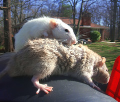 Supermodels Fabuloso and Ezekiel Wait For Their Daily Fan Mail (birdtoes) Tags: pet pets animal animals rodent rat rats rodents ezekiel ratty ratties fabuloso malerattysupermodels waitingforfanmail