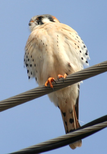 american kestrel close up