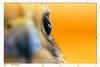 عين الصقر (N-S-S) Tags: macro bird nikon kuwait مركز صقر nasser الكويت كويت طير vwc ناصر العمل d2xs طائر التطوعي مايكرو kvwc الصليهم alsolihem