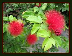 Macro of Calliandra emarginata inflorescences